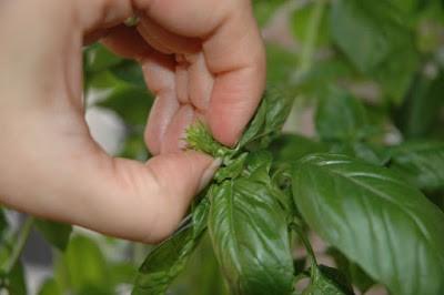 Herb Gardening 3